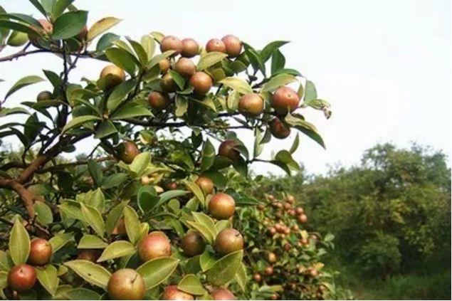 麻城茶籽批发:中国油茶之乡麻城福田河油茶籽批发价